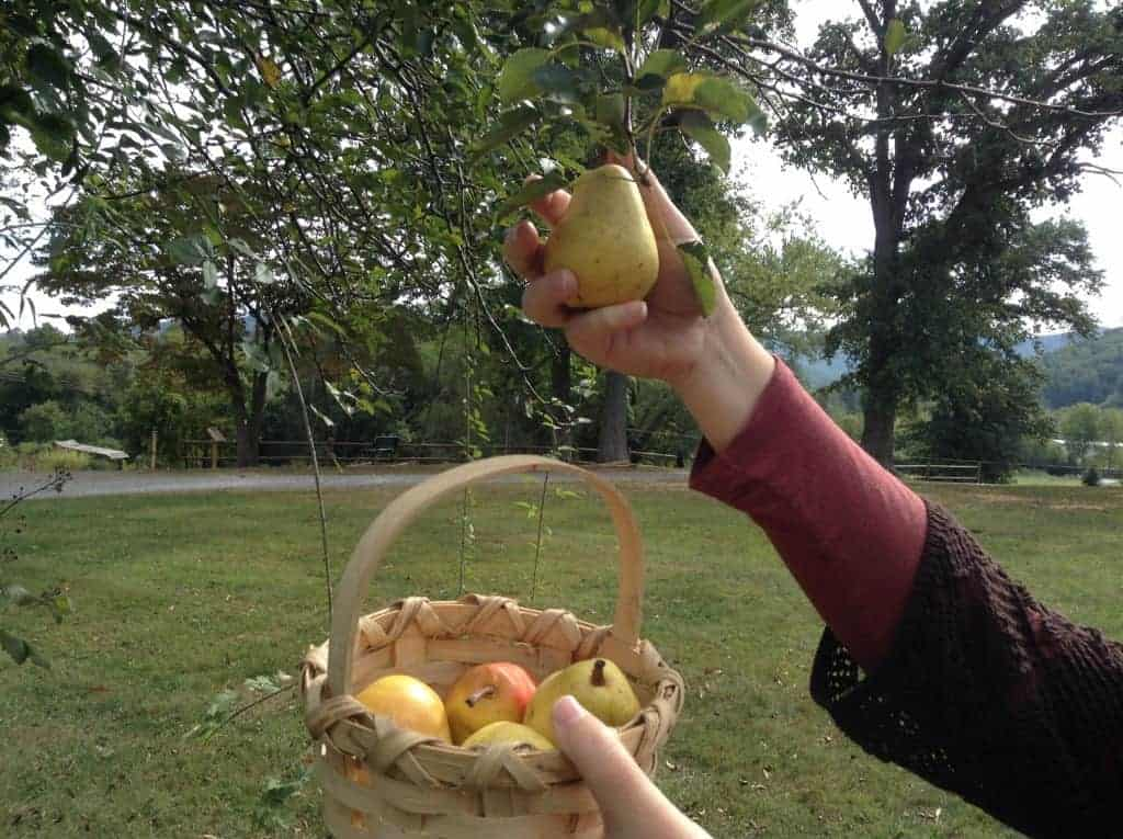 Picking Pears This Fall