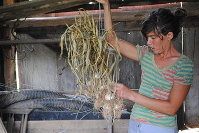 On a Farm Tour of First Blossom Farm, Veronica Sotolongo showed us how she cured garlic.