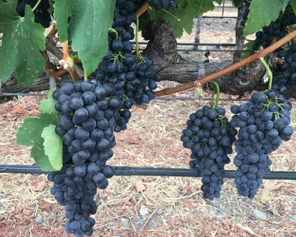 Grapes make Napa Valley Wine